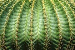 Feche textured acima da planta do cacto Imagem de Stock