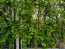 Fechtuje si? poros?ego z zielonym bluszczem przed domem obraz stock