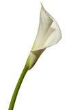 Feci del fiore bianco Immagini Stock Libere da Diritti