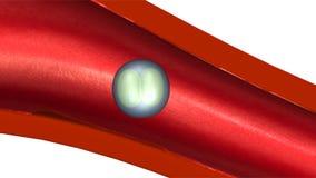 Fecundação e implantação ilustração do vetor
