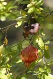 Fecundity fruit Royalty Free Stock Photo