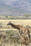 The fed lonely giraffe Stock Photography