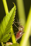 Fed mosquito. Mosquito with a full, red belly royalty free stock images
