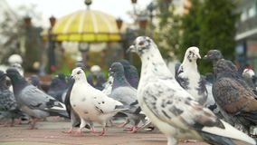 Fed pigeons at the city square. Flock of fed pigeons at the city square stock video footage