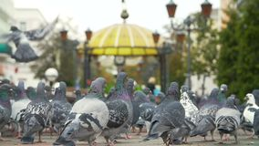 Fed pigeons at the city square. Flock of fed pigeons at the city square stock video