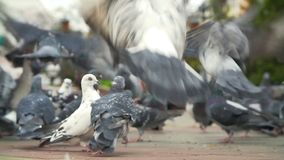 Fed pigeons at the city square. Flock of fed pigeons at the city square stock footage