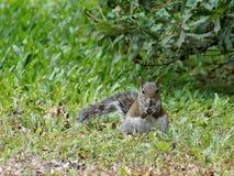 Fed Squirrel Eating buono in erba Immagine Stock