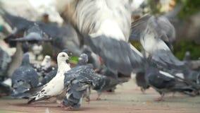 FED-Tauben am Stadtplatz stock footage