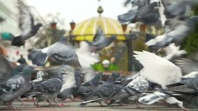 FED-Tauben am Stadtplatz stock video footage