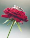 Fede nuziale dell'oro bianco sul fiore della rosa rossa Fotografia Stock Libera da Diritti