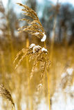 Feder des einfachen Rohrblattes mit Schnee Stockfoto