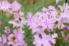 Feder-Nelke, Dianthus plumarius - Dianthus plumarius, carnation family flowers Stock Image