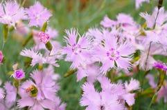 Feder-Nelke, plumarius Dianthus - plumarius Dianthus, οικογενειακά λουλούδια γαρίφαλων Στοκ Εικόνα