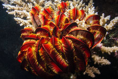 Feder Starfish stockfotografie