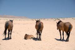 Wild Horses of the Namib Desert - Namibia Royalty Free Stock Photography