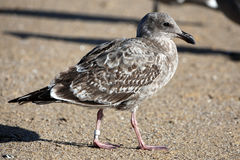 Federale Regering Tagged-Banded Bird Stock Foto