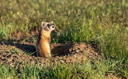 Federally Endangered Black-footed Ferret on the Plains of Colorado stock images