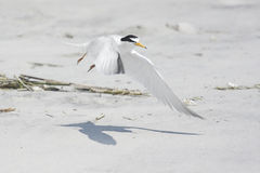 Federally Endangered Least Tern Royalty Free Stock Photo