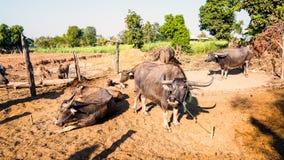 Federation of Thailand buffalo Stock Photo
