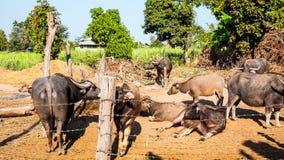 Federation of Thailand buffalo Royalty Free Stock Image