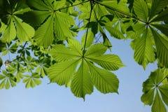 Federblätter des Kastanienbaums Stockfoto