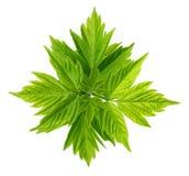 Federblätter von Ahornascheacer negundo mit jungen Blättern Lizenzfreies Stockfoto