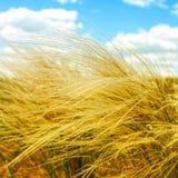 Federgras auf dem Gebiet, sonniger Sommertag Lizenzfreies Stockfoto