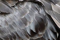 Federn des schwarzen Schwans Stockfoto