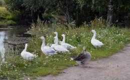 Federn gestalten Vogelnatur-Wasservogeltiergansla der wild lebenden Tiere des grünen Grases der Parkstrombaumteichschnabeltiersch Lizenzfreie Stockfotos