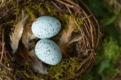 Federn und Eier im Nest Stockfotografie