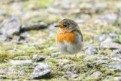 Fedgling Robin lizenzfreies stockfoto