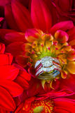 Fedi nuziali e fiori rossi Immagine Stock