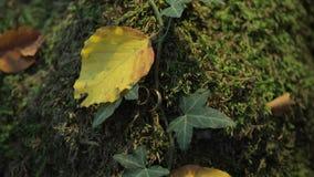 Fedi nuziali in mosa e foglie su una corteccia di albero Gioielli alle nozze stock footage