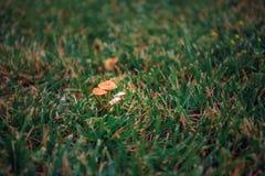 Fedi nuziali nell'erba accanto ai funghi fotografia stock