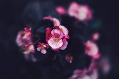 fee dromerige magische roze purpere bloemen op langzaam verdwenen onscherpe achtergrond, die met instagramfilters wordt gestemd i Royalty-vrije Stock Afbeelding