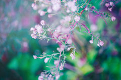 Fee roze witte kleine bloemen op kleurrijke dromerige magische groenachtig blauwe purpere onscherpe achtergrond Royalty-vrije Stock Afbeeldingen