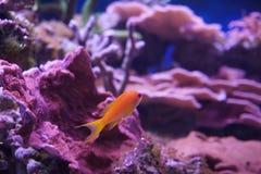 Fee-toppositie, Anthias-pleurotaenia in marien aquarium royalty-vrije stock foto