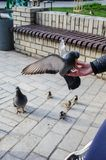 Feed the birds pigeons and sparrows with hands closeup stock photos