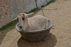 Feed bowl goat Stock Photo