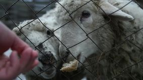 Feed bread through the fence of two hungry sheep. slow motion, 1920x1080, full hd. Feed bread through the fence of two hungry sheep stock video footage