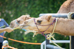 Feed the camel Royalty Free Stock Photo