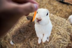 Feed carrot to white fluffy rabbit. By top view on background of straw bedding. Animal in farm. Cute pet stock photo