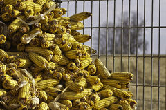 Feed Corn. In a corn crib with farm field and tree in the background Royalty Free Stock Photo