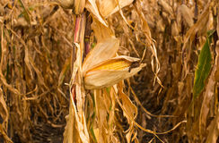 Feed Corn drying in field Royalty Free Stock Photo