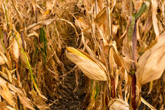Feed Corn drying in field Stock Photography