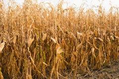 Feed Corn drying in field Stock Photos