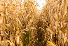 Feed Corn drying in field Royalty Free Stock Image