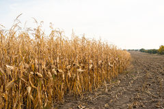 Feed Corn drying in field Royalty Free Stock Photos