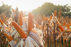 Feed Corn drying Royalty Free Stock Photography