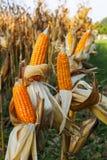 Feed Corn drying Stock Photos